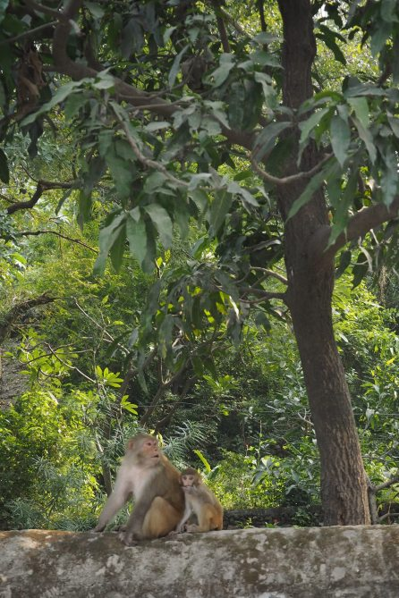 monkeys are all over Rishikes